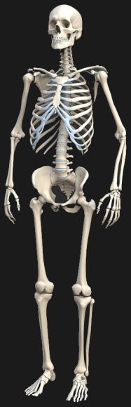 Визуальный словарь на тему «Скелет»